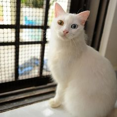 """<b>These cats have eyes that are each a different color, a condition commonly referred to as """"odd-eyed,"""" or, scientifically, """"Heterochromia Iridum.""""</b> These special kitties may be odd, but they're also some of the most beautiful and magical-looking creatures on the planet."""