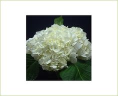 Natural White - Hydrangea - Flowers and Fillers - Flowers by category | Sierra Flower Finder