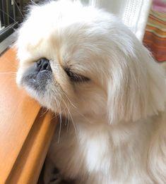 Yorkies, Pekingese Puppies, Dogs And Puppies, Fu Dog, Dog Cat, Cool Pets, Cute Dogs, Beautiful Dogs, Animals Beautiful