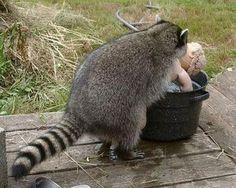 Twitterのアライグマが全力で笑かしにきてるwww - NAVER まとめ