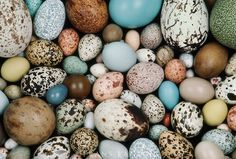 Bird egg collection, Western Foundation of Vertebrate Zoology, Los Angeles, California ~ photo by Frans Lanting.