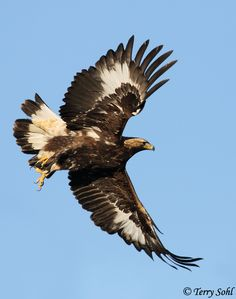 Golden Eagle taking flight. This is a imature Golden. My fave Bird ~ Where Eagles Dare, Big Scary, Eagle Wings, Golden Eagle, All Gods Creatures, Big Bird, Birds Of Prey, Bald Eagle, Eagle Bird