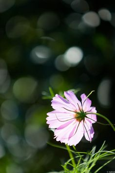 写真 ピンク色のコスモス だって秋なんです