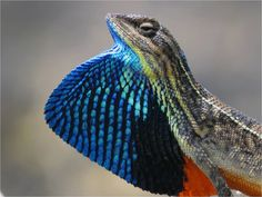 Fan Throated Lizard  (Sitana ponticeriana) by Dr. Akash Akinwar