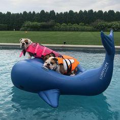"2,220 Beğenme, 14 Yorum - Instagram'da King Bentley (@kingbentleythebulldog): "" whale riding #DailyDoseOfSugarAndBentley #KBinThePool"""