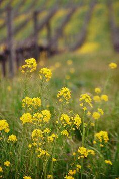 -BLEN: Flores de Bach- Mustard by 24thcentury, via Flickr