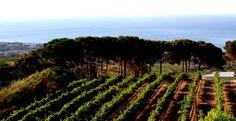 Syrah vineyards