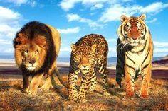 NAT90044 - Wild Cats (Lion Tiger Cheetah)