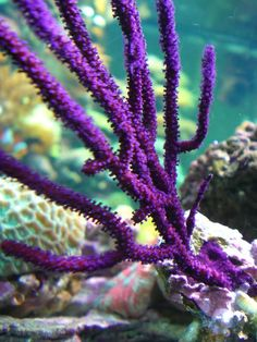 Beautiful Purple Gorgonian