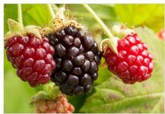 How to Install a Raspberry and Blackberry Trellis | Peak Prosperity