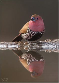Pinkthroated twinspot by Charl Senekal on www.digitalgallery.co.za