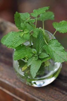 Learn how easy it is to proagate mint from cuttings. You can grow many mint plants! You can use this technique to propagate other herbs too. Growing Herbs In Pots, Growing Mint, Cuttings, Propagation, Mint Plants, Herb Gardening, Herbs Indoors, Backyard Patio, Canning