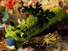 Komodo National Park in Indonesia showcases a carnival of marine life, including this green-and-black nudibranch, seen here devouring a tunicate. The coloring of these carnivorous mollusks comes from the foods they eat. Underwater Creatures, Ocean Creatures, Underwater Photos, Underwater World, Creature Picture, Sea Snail, Sea Slug, Colorful Fish, Tropical Fish