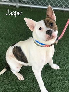 Meet JASPER, an adopted Pit Bull Terrier Mix Dog, from Friends of Shelter Animals for Cobb County in Marietta, GA on Petfinder. Learn more about JASPER today. Terrier Mix Dogs, Pitbull Terrier, Animal Shelter, Animal Rescue, Sweet Hug, Helping The Homeless, Your Pet, French Bulldog, Pup