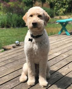 Choosing a grooming style for your Goldendoodle? Take a look at these awesome Goldendoodle haircut styles for your inspiration. Goldendoodle Haircuts, Goldendoodle Grooming, Dog Haircuts, Puppy Grooming, Mini Goldendoodle, Goldendoodles, Most Cutest Dog, Puppy Haircut, Poodle Cuts