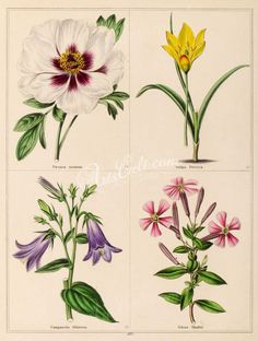 tulips-00052 - paeonia moutan, tulipa persica, campanula sibirica, silene shaftii [1799x2383] - scrapbooking 17th flower art lithographs scan 1900s supplies craft commercial nice high use  botanical instant printable Paper ArtsCult 1800s nature blooming old Artscult naturalist collage Pictorial download flora flowers clipart orchid 300 dpi wall collection 1700s qulity illustration botany paintings Edwardian domain digital masterpiece free Graphic plants royalty century Victorian transfer… Flora Flowers, Printable Paper, Botany, Flower Art, Tulips, Orchids, Bloom, Clip Art, Scrapbook