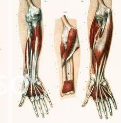 29X40cm Muscles du Bras et de la Main, Planche Anatomique Corps Humain Bourgery…
