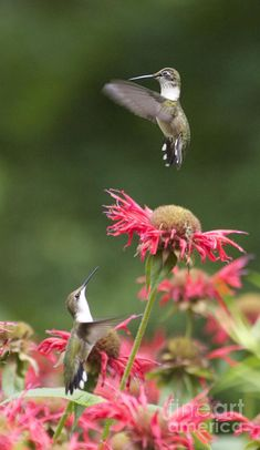 Cecilias Hummers by Patricia A. Griffin