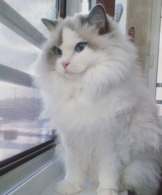 Male and female Ragdoll cat name ideas. Search best cat names for your Ragdoll cat. Cute Cats And Kittens, Baby Cats, Cool Cats, Kittens Cutest, Pretty Cats, Beautiful Cats, American Bobtail, Gato Gif, Cat Names