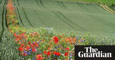 The stripy fields have been planted across England as part of a trial to boost the natural predators of pests that attack cereal crops