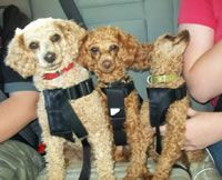 poodle cut with no head poof- I like the one on the left