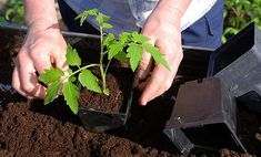 Doing some organic gardening is ideal and these tomatoes gardening tips are some of the best you will come across. Growing tomatoes in pots is ideal if you are suffering from limited garden space. Garden Soil, Lawn And Garden, Garden Plants, Garden Landscaping, Garden Boxes, Green Garden, Tomato Garden, Tomato Plants, Vegetable Garden