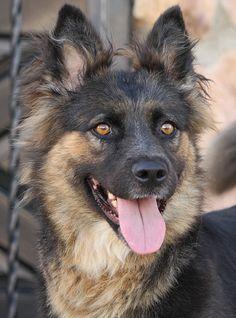 German Shepherd Rescue, Belgian Shepherd, German Shepherds, Tamaskan, Foster Family, Schaefer, Puppy Eyes, Mans Best Friend, Animal Shelter