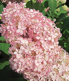 Hydrangea 'Invincibelle Spirit' - The first ever pink Annabelle is outstanding. Very hardy and low maintenance. Zones 3-8