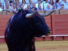MIURAS - MAESTRANZA DE SEVILLA (2011)