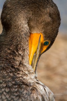 The Eyes Have It - Double-crested Cormorant (Phalacrocorax auritus) preening in the Everglades NP (Florida) | Show Me Nature Photography