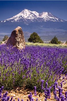 Lavender Fields by Mount Shasta @ManTripping