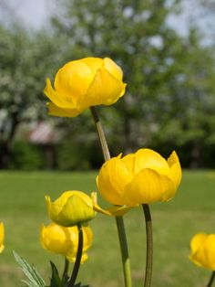 Ballblom i hagen - Moseplassen Most Beautiful Gardens, Planters, Rose, Flowers, Tips, Gardens, Naturaleza, Sweetie Belle, Pink