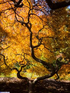 Japanese Maple at Cylburn Arboretum, Baltimore, MD.  I took this the first week of November, 2015. #Fall #JapaneseMaple #Cylburn