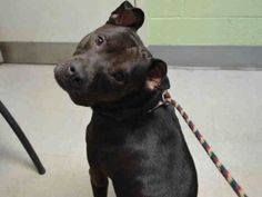 Sepp-A1048880 SUPER URGENT 2 BE DESTROYED TONIGHT 8/28/15 OR TOMORROW, THERE STILL IS TIME TO SAVE THIS PRECIOUS LIFE! HOW TERRIFIED, HEARTBROKEN N LOST SEPP MUST BE FEELIN RIGHT NOW,  ALL ALONE AWAITING A CERTAIN DEATH AT THE HANDS OF THIS SHELTER! WE R BEAUTIFUL SEPP'S ONLY VOICE N HOPE FOR SURVIVAL!  WONT U PLEASE MAKE HIS LAST WISH COME TRUE? LOVE N LIFE :) SEPP DESERVES LOVE, LIFE N A FOREVER HOME! RESCUE ONLY!  DONT WAIT, THEY WILL KILL HIM! information.urgentpodr.org