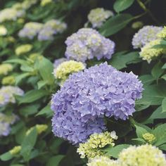 Propagate hydrangeas by burying a lower branch in a trench while still attached to mother plant. Once it roots, prune from mother and replant where you want it!