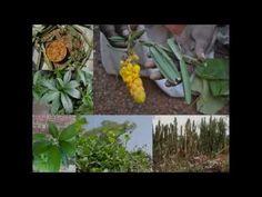 Medicinal Rice P5N Formulations for Cleistanthus Excess: Pankaj Oudhia's...