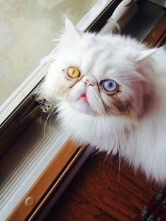 The persian cat me and my boyfriend have :3