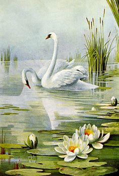Swans and Water Lilies