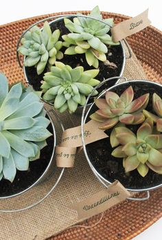 DIY Succulent Gifts