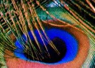 Eye of the Indian Peafowl