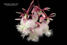 Epidendrum Annelie Wans, an ilense hybrid - Orchid Forum by The Orchid Source