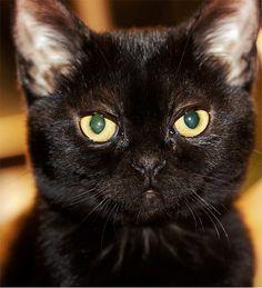bombay cat | Bombay6 150x150 The Bombay Cat