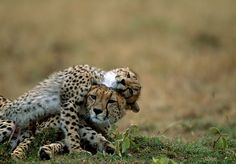 Cheetah mother with cub in the Masai Mara, Kenya.  Picture: Steve Bloom.