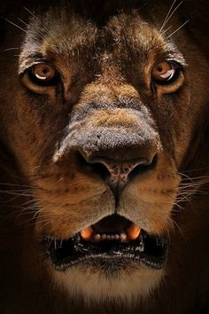 Wild Portrait #Lion #Animals