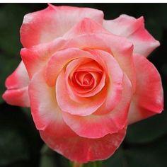 Fiori Rosa Nomi.620 Fantastiche Immagini Su Rosa Rosae Fiori Rose E Rose