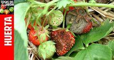 ¡Qué le ha pasado a mis fresas!
