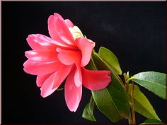 Camellia japonica 'Hakuhan-kujaku' (Japan, 1966)