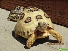 Leopard turtle and Sukada turtles