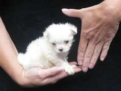 CHINA CUP MALTESE PUPPY AT 8 WEEKS. LACHICPATTE.COM