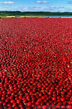 Cranberry Bogs, WI  (Cranberry Festival, Warrens WI end of Sept)
